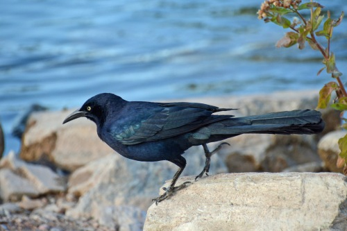 Grackle Boy