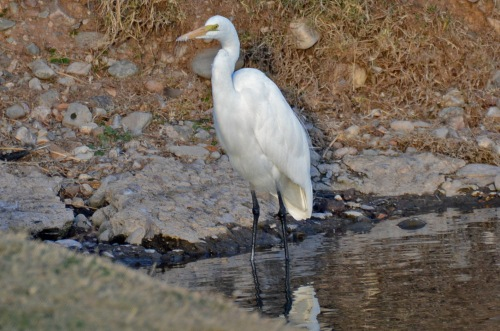 Great Egret 12.30.14