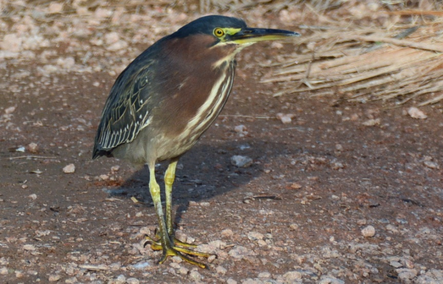 Green Heron Stand