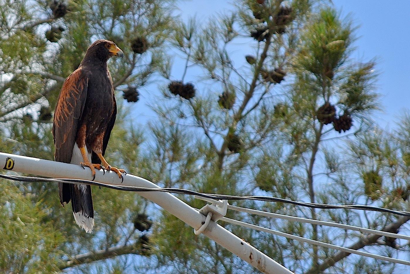 Hawk 2 June 13