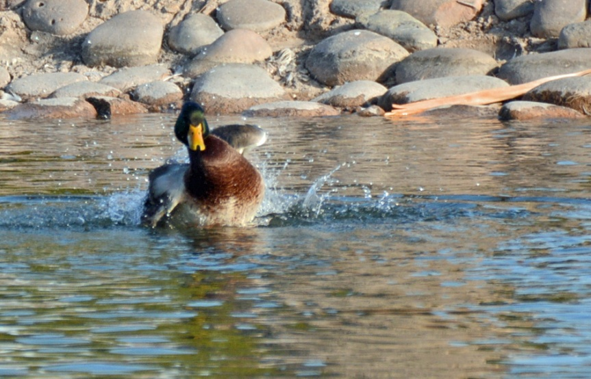 Mallard Bathing 2