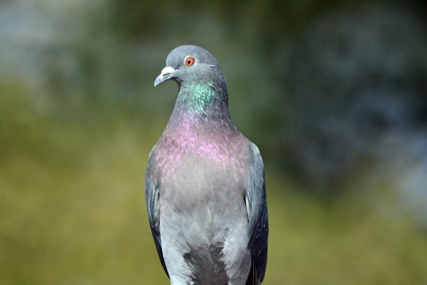 Rokinon Pigeon