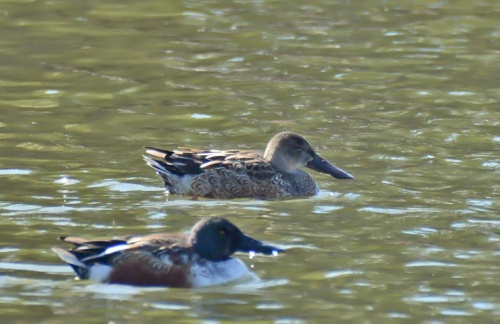 Shovelers Both_edited-1