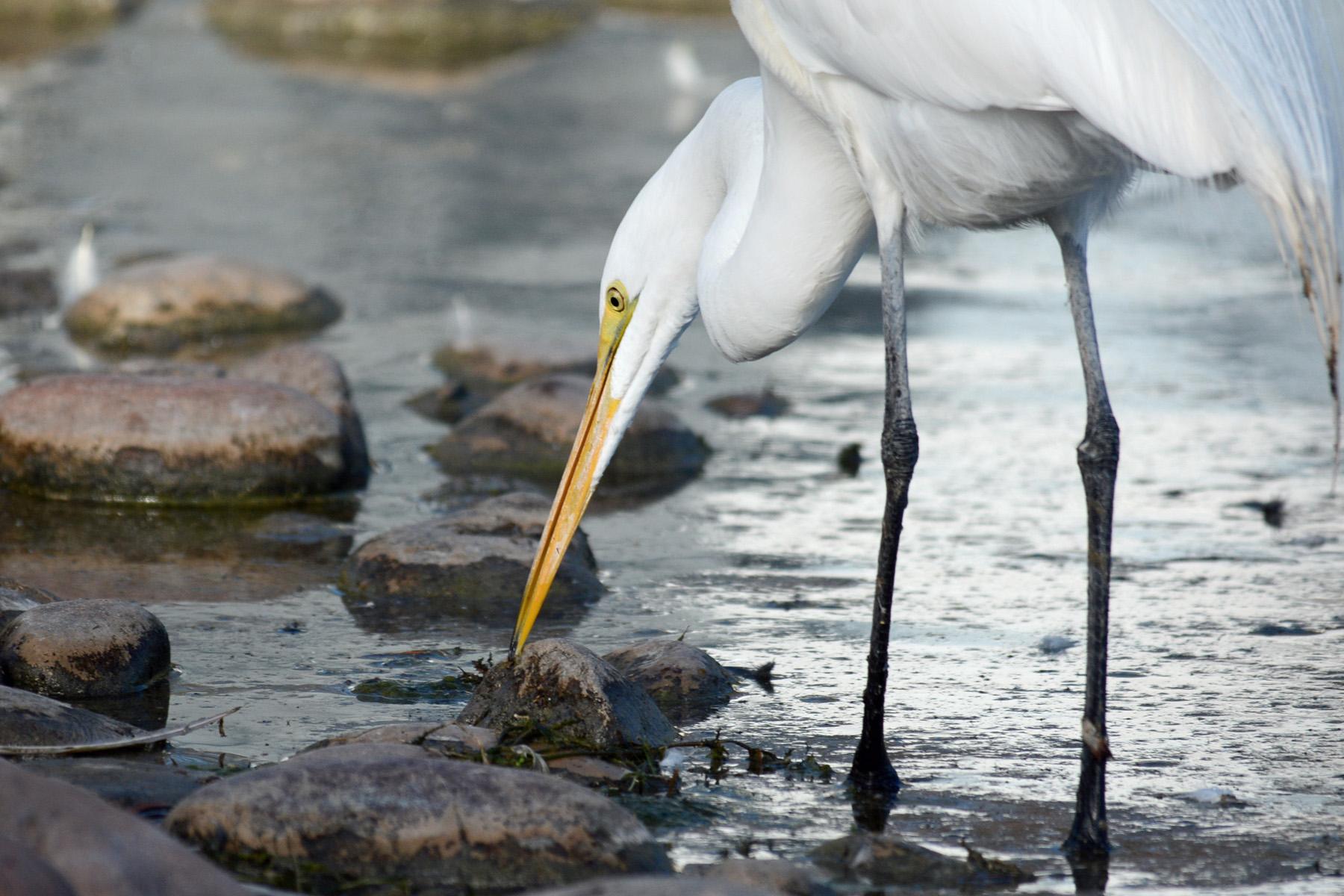 Egret Eating