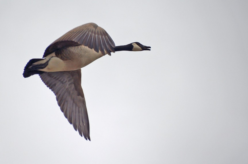 Goose in Flight