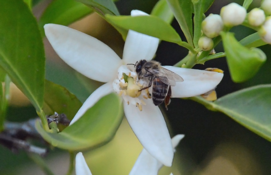 Bee on Citrus