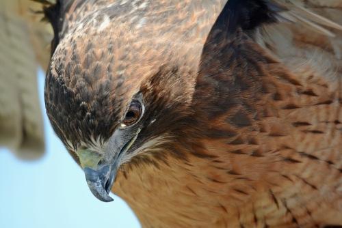 Hawk 12