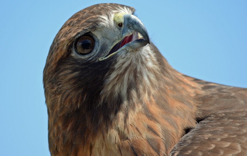 Hawk 9