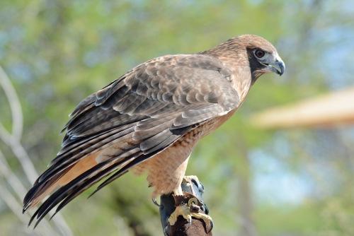 Hawk Full