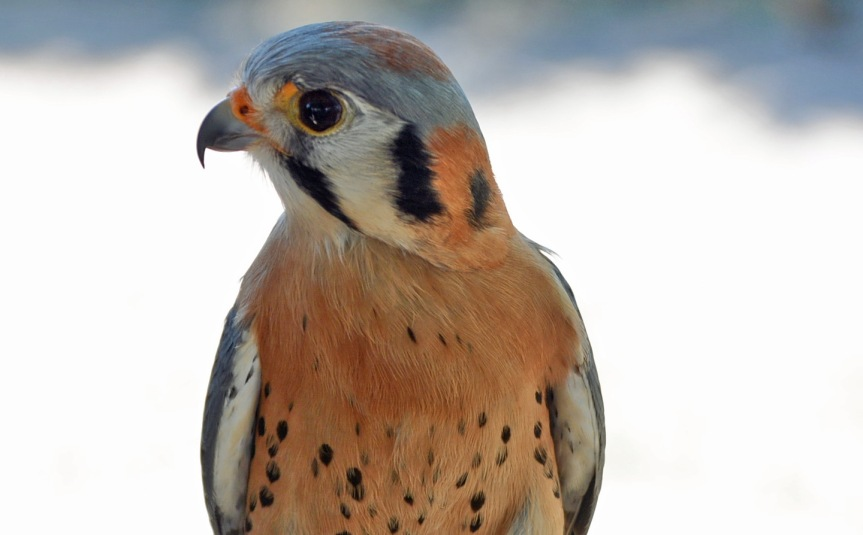Kestrel Crop