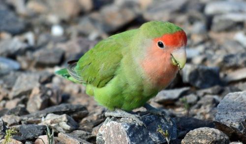 Lovebird 3
