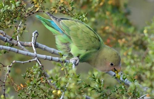 Lovebird Nibble