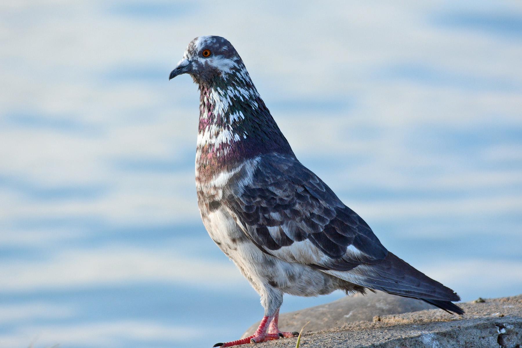 Pigeon_edited-1