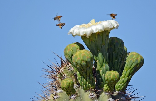 Cactus Flower and Bees