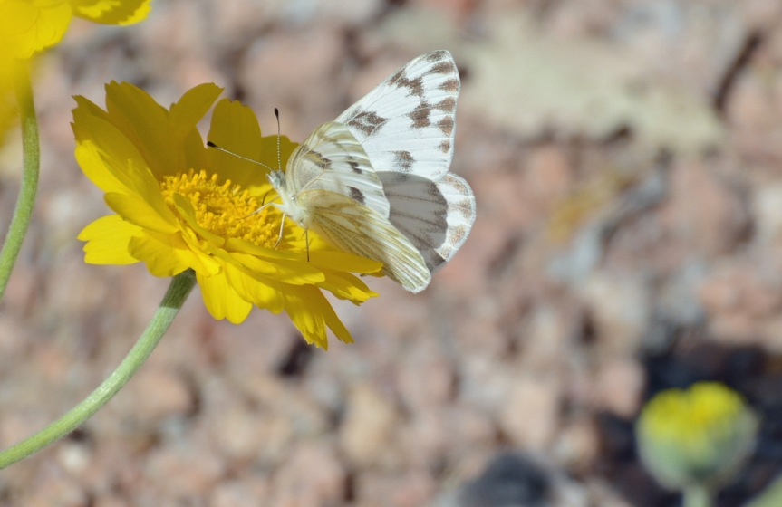 Checkered White 4.8.15