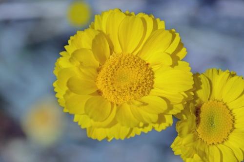 Desert Marigold 4.8.15