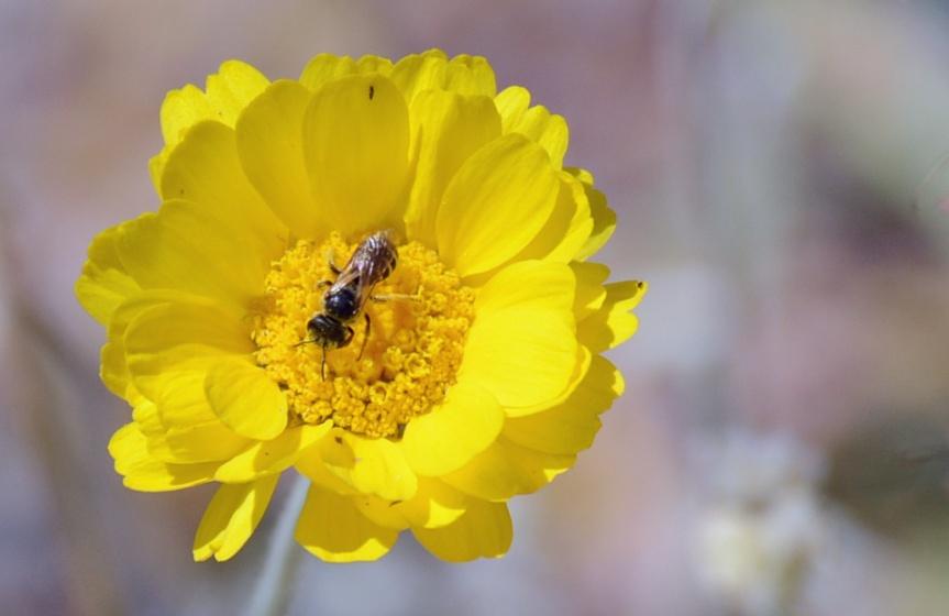 Desert Marigold and Bee