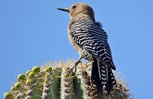 Gila on Saguaro