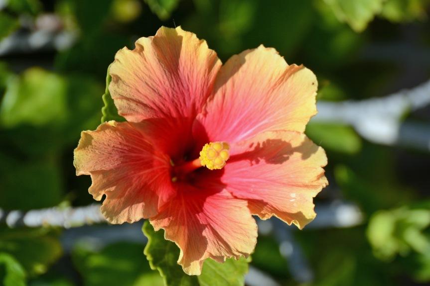 Hibiscus 3.15