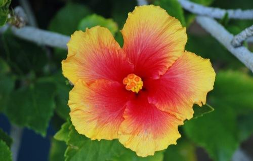 Hibiscus 3.18.15