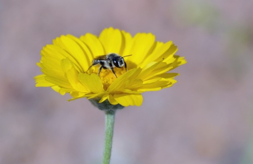Leafcutter Bee 4.8.15