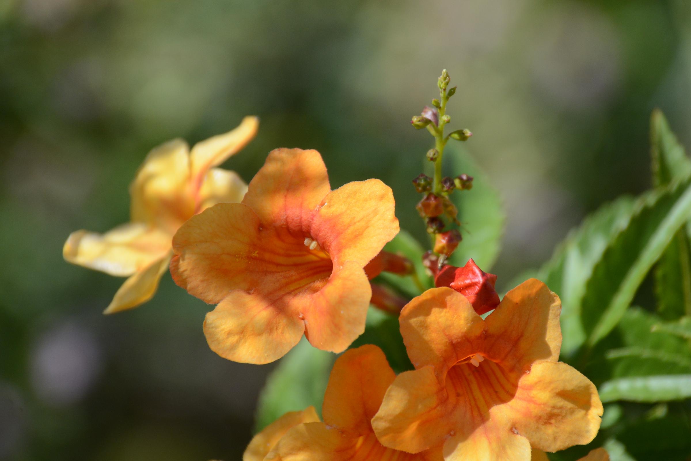 Trumpet Flower 4.8.15