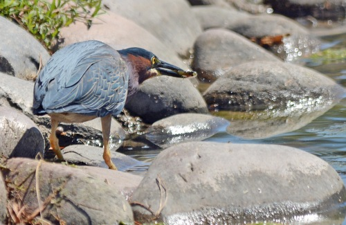 Green Heron Snack