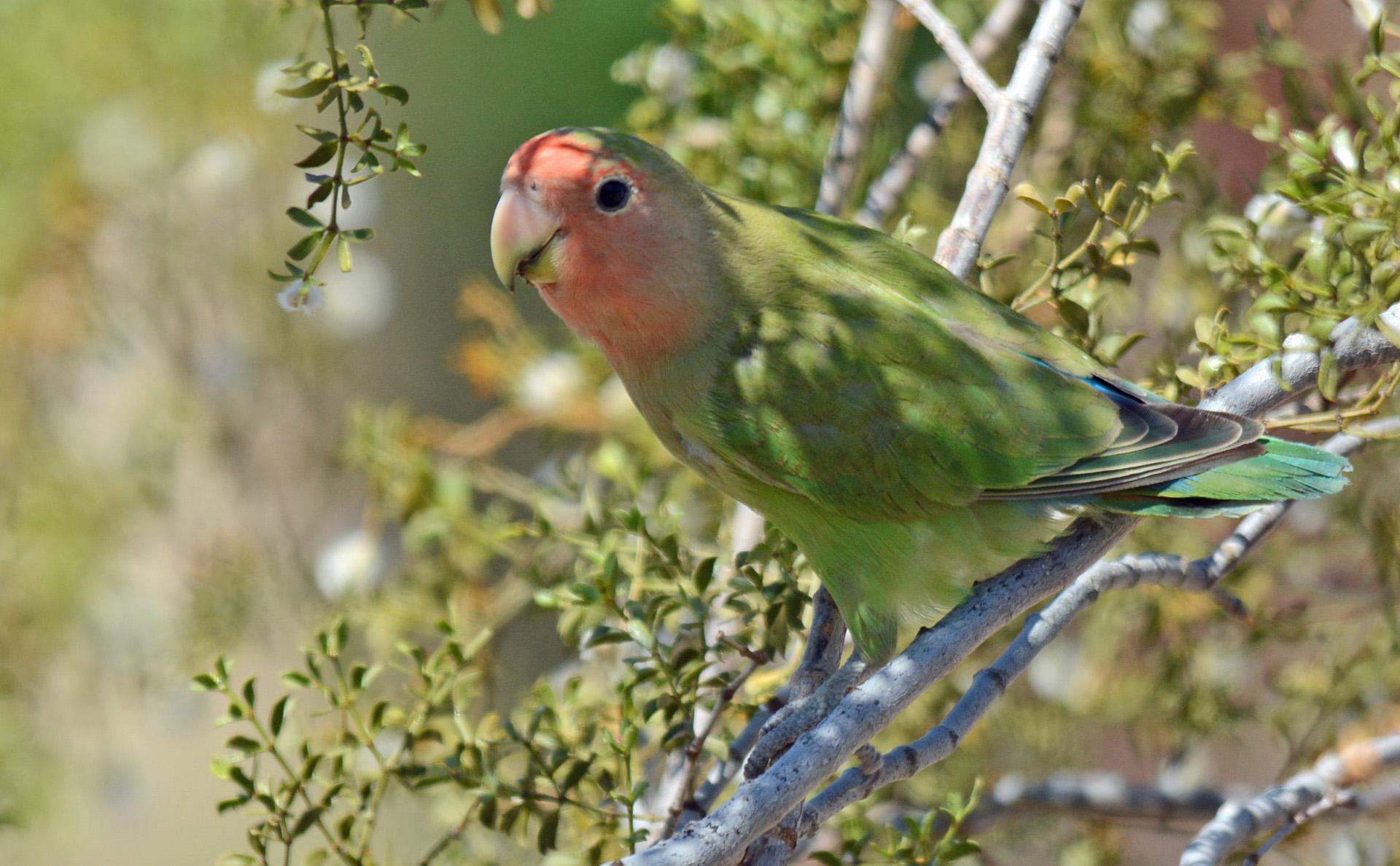 Lovebird 2