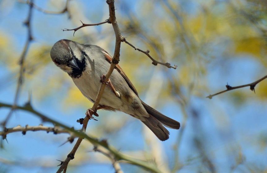 Sparrow 4.17.15