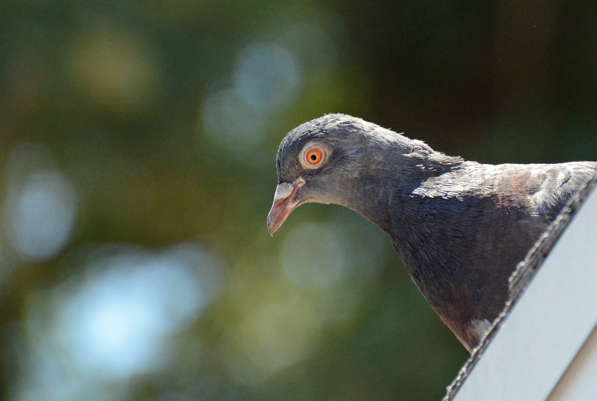 Rock Pigeon 6.2.15