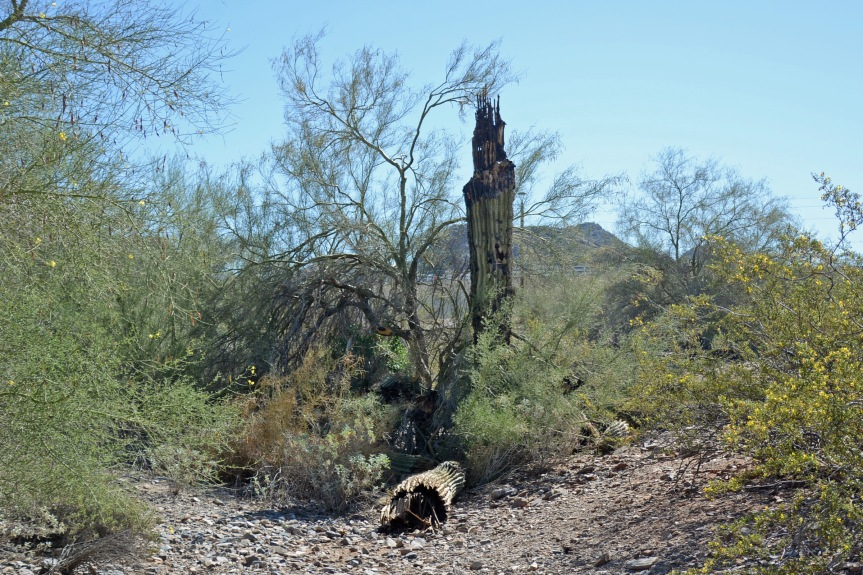 Saguaro Downed