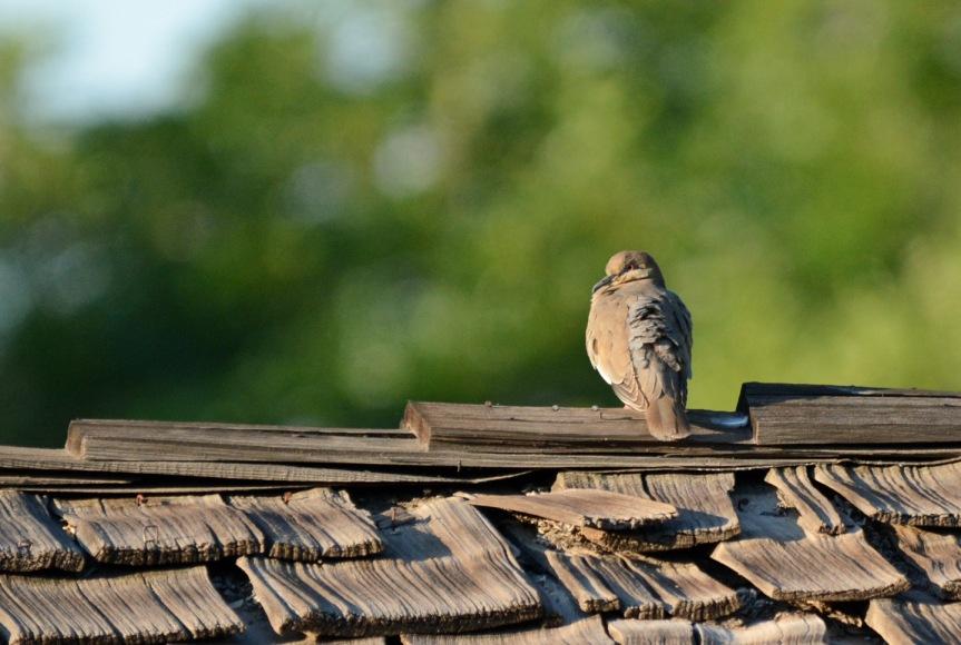 White Winged Dove 6.3.15