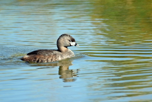 Grebe Adult