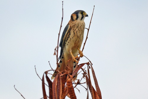 Kestrel 1_edited-1