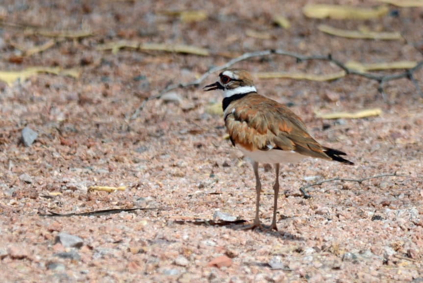 Killdeer_edited-1