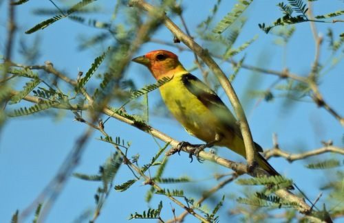 Western Tanager_edited-1