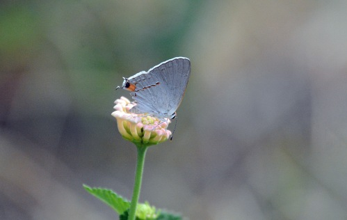 Hairstreak Chomp