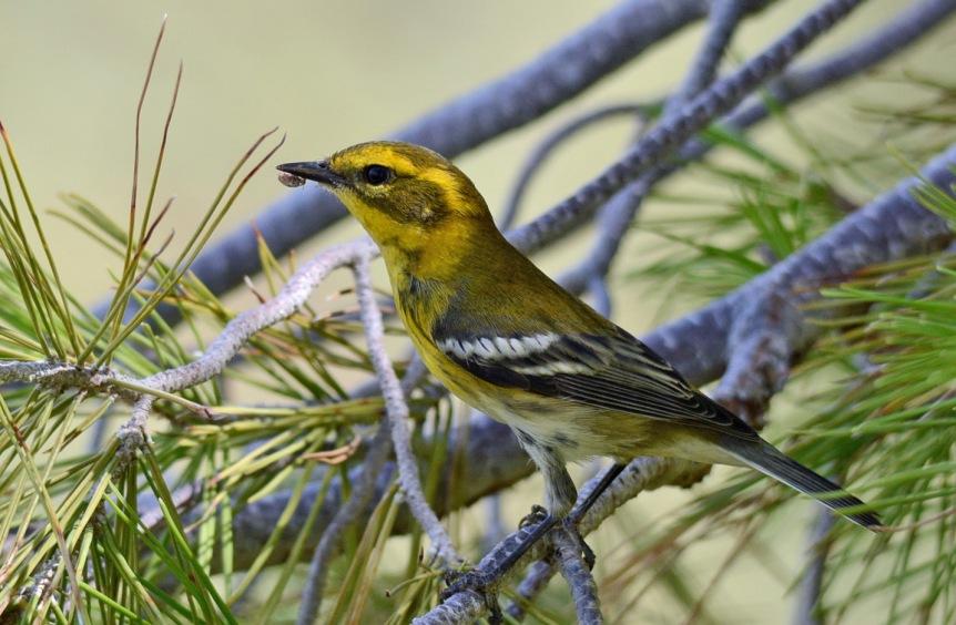 Townsend's Warbler 1