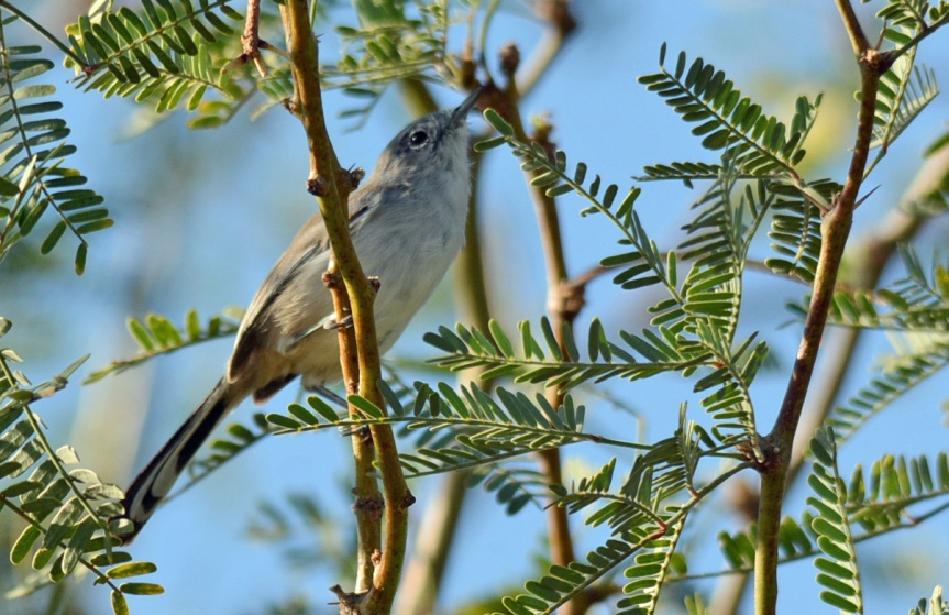 Gnatcatcher 1