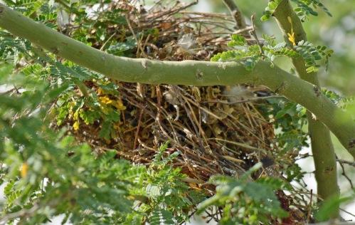 Verdin Nest 20 H