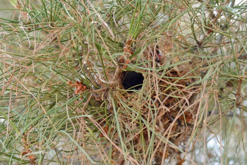 Verdin Nest 8.31.15