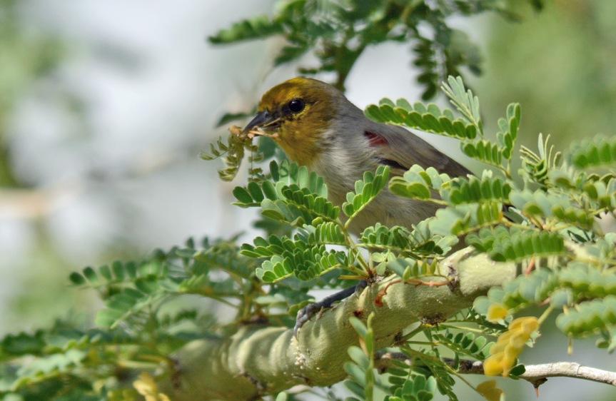 Verdin Nest Bldg 9.22.15
