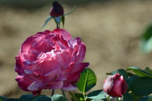 Bright Pink Rose