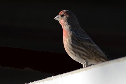 Finch 11.12.15