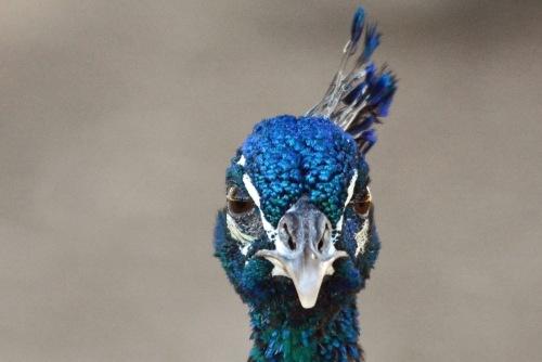Peacock Head On