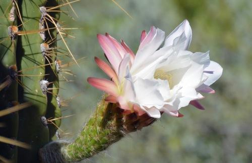 Sag Bloom