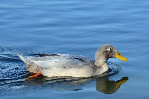 Gray Duck
