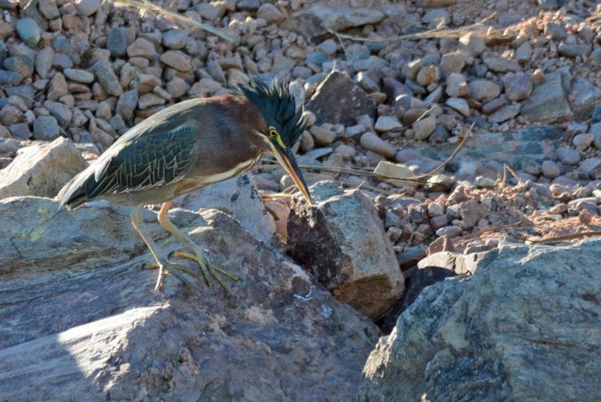 Green Heron 11.15