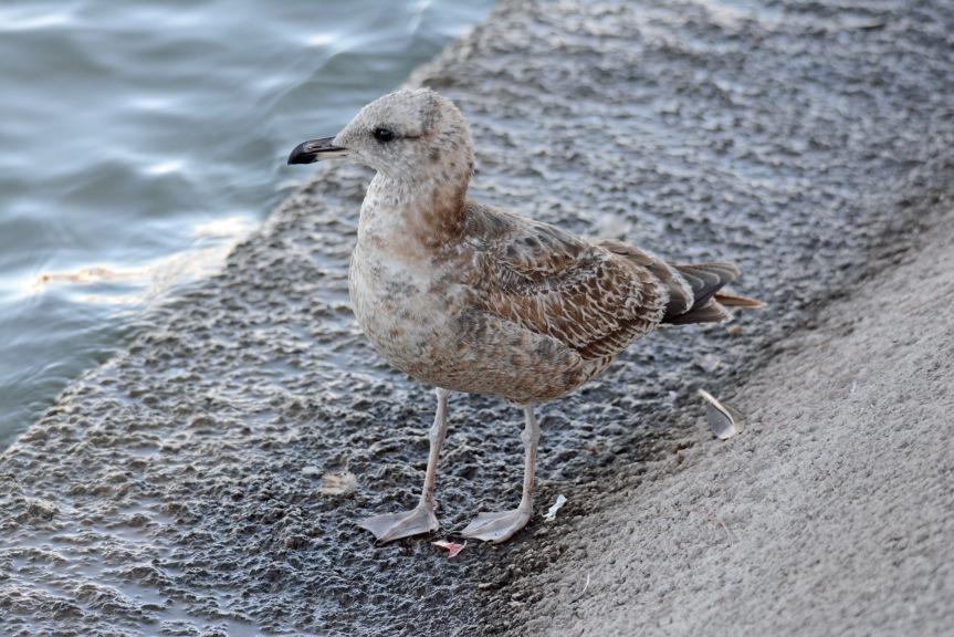 Herring Gull 11.22.15