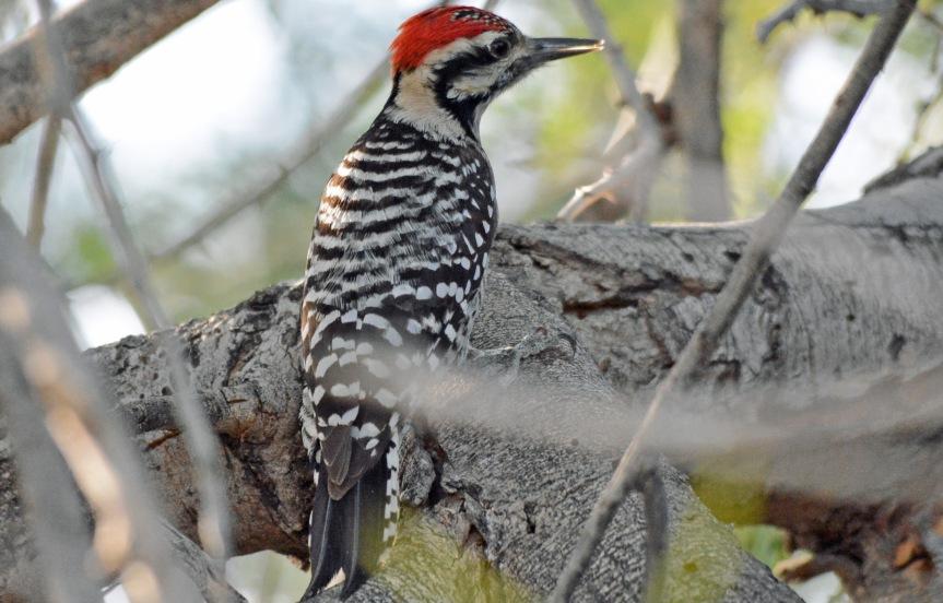 LB Woodpecker